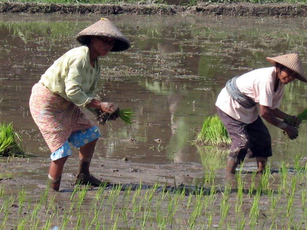 Крестьяне на рисовых полях. Остров Ява