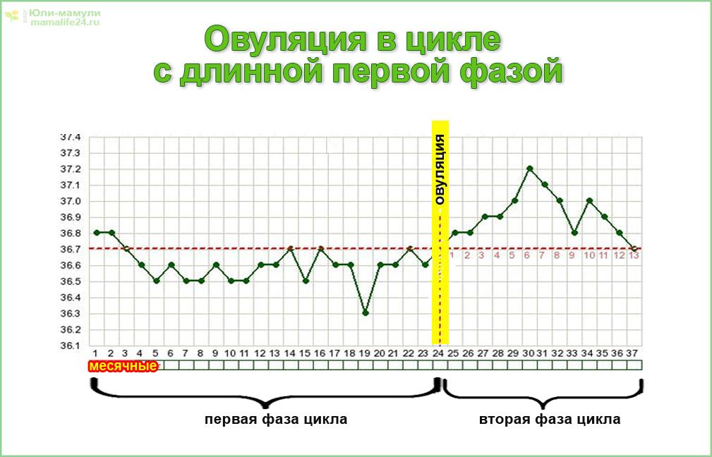 График овуляции в цикле с длинной первой фазой