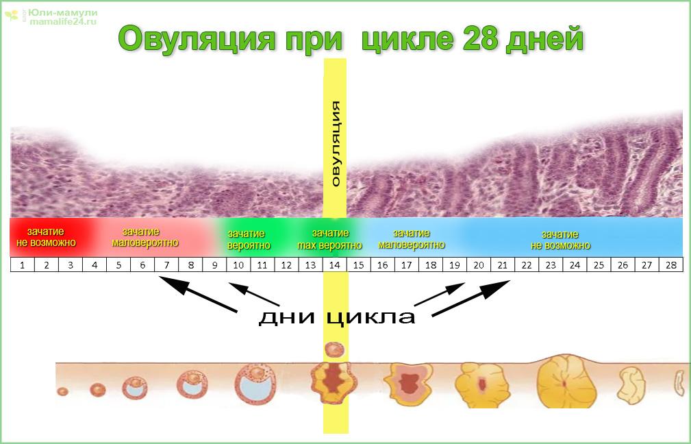 менструальный цикл созревание яйцеклетки овуляция схема