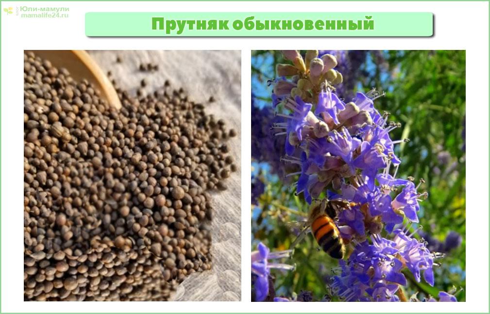 Прутняк оыкновенный плоды и цветы