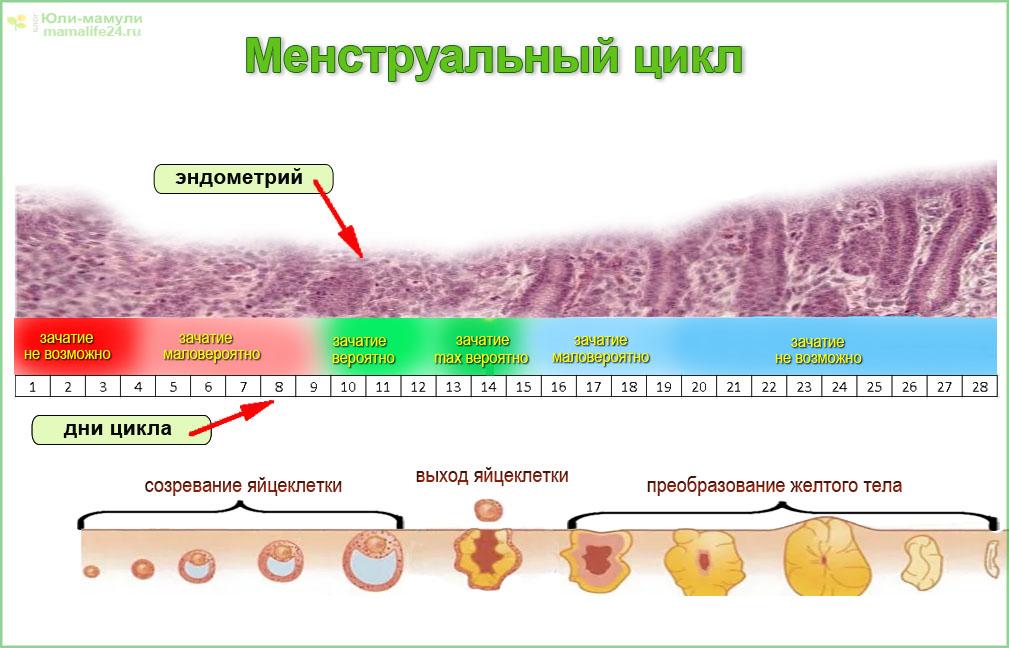 Менструальный (месячный) цикл