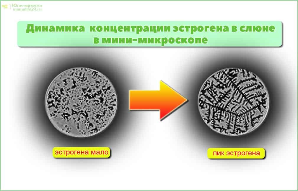 рисунок слюны листья папоротника вид в микроскоп для овуляции