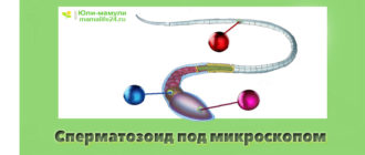 Сперматозоид под микроскопом