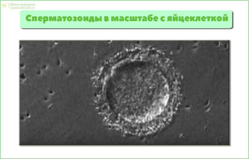 фото сперматозоид и яйцеклетка в масштабе
