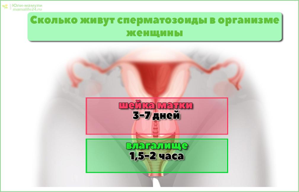 Сколько живут сперматозоиды в органах женщины