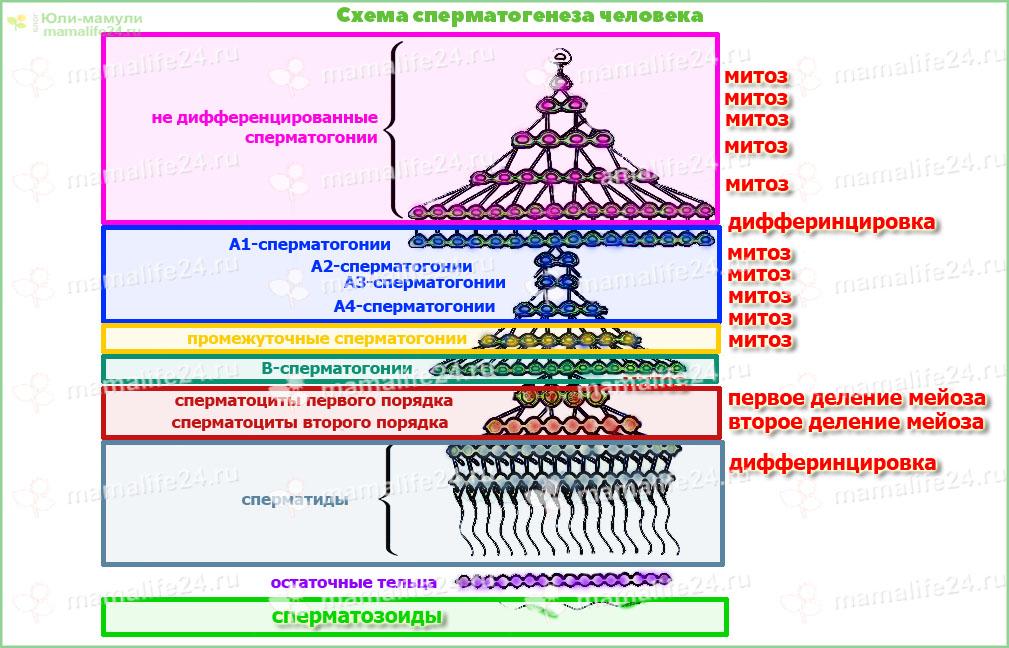 Схема сперматогенеза человека