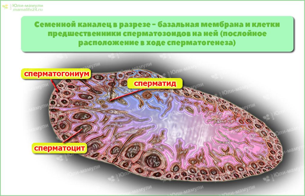 Сперматогенез. Сколько созревают сперматозоиды