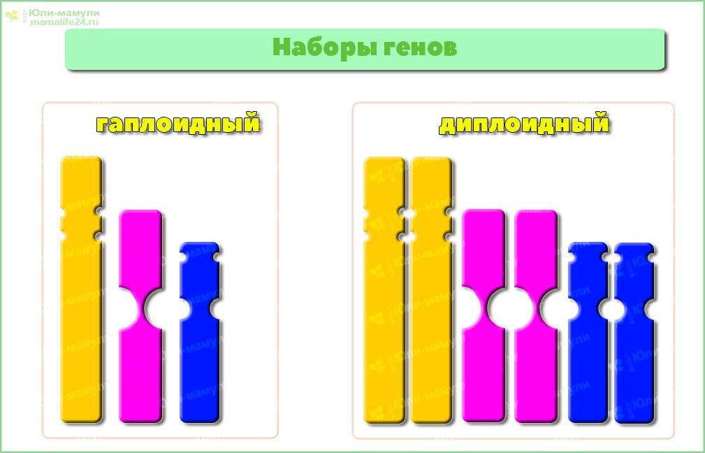 Диплоидный и гаплоидный набор генов