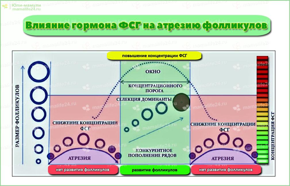 Воздействие уровня гормона ФСГ на атрезию фолликула