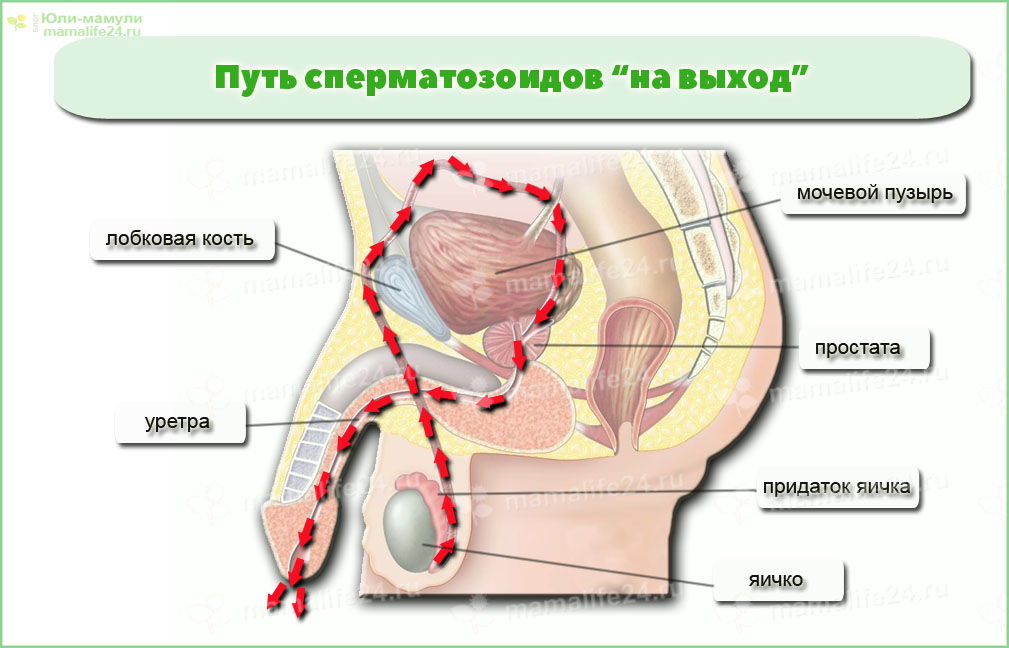 Семяизвержение у мужчины. Путь сперматозоидов на выход