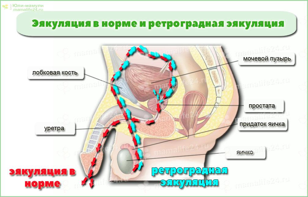 Ретроградная эякуляция. Путь сперматозоидов при акте семяизвержения