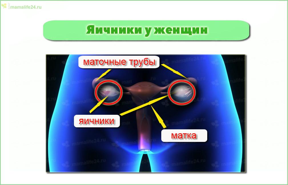 Болит поясница при овуляции, т.к. яичники располагаются в полости малого таза и имеют обильную спинномозговую иннервацию