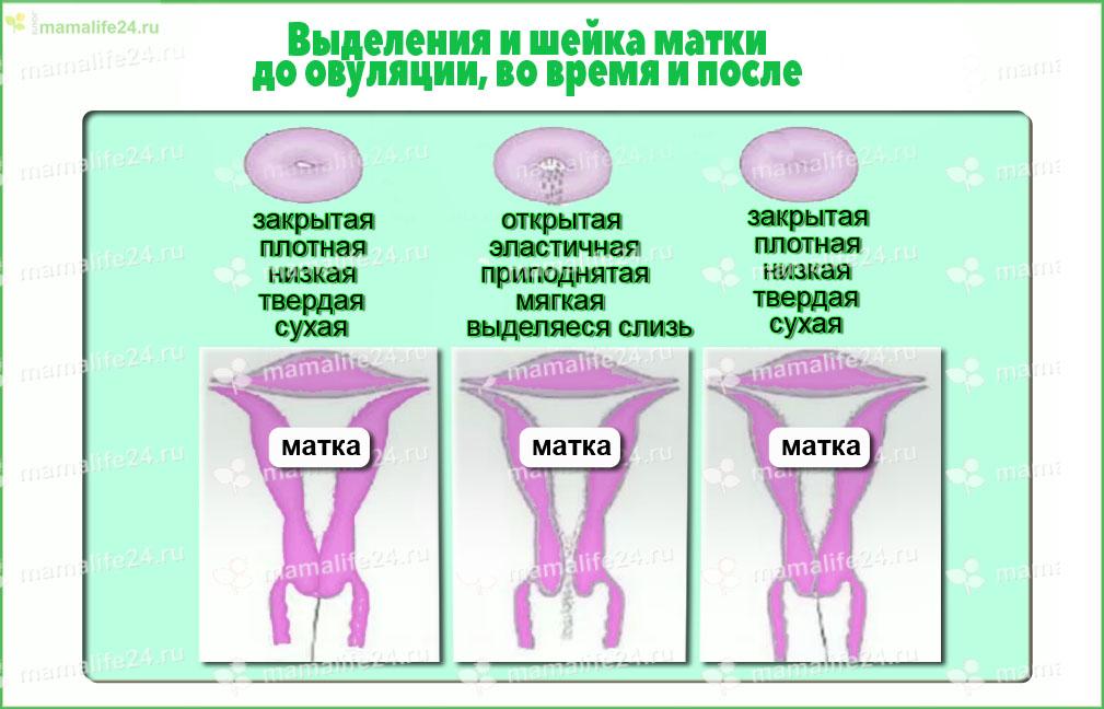 шейка матки в овуляцию – плотность, положение, наличие «симптома зрачка»